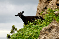 Mountain Goat, Kenting National Park