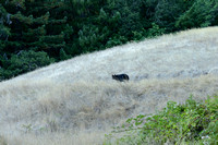 Black Bear pays a visit
