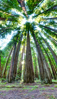 Beneath the Redwood Canopy