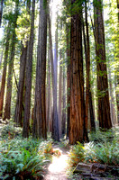 Old-growth redwood path